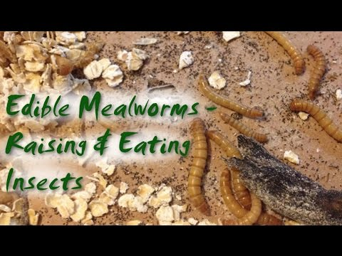 Edible Mealworms - Raising and Eating Insects