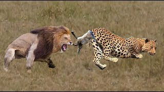 Lions ventured to hunt the leopard family, What will the ending be???