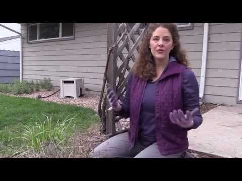 Colder Climates: How to Prune English Lavender in Spring