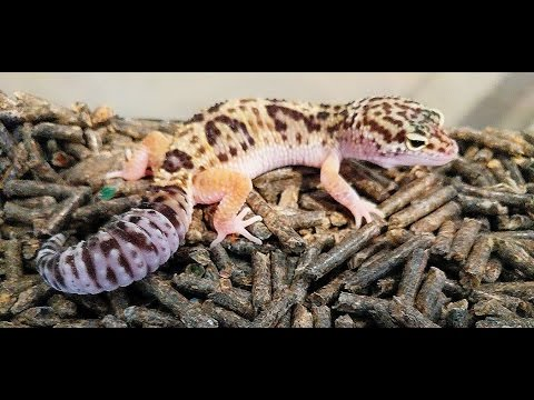 Preparing for my Female Leopard Gecko to Lay eggs!