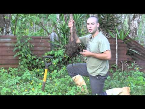 How to plant bananas