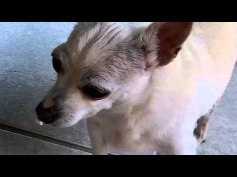 Chihuahua with buck teeth
