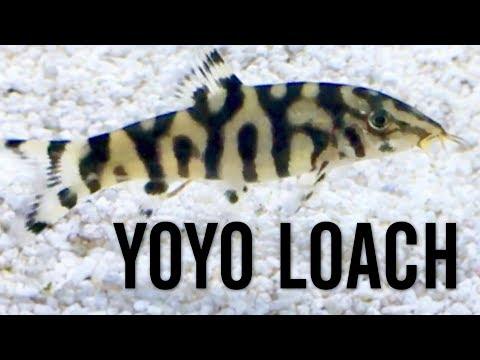 YoYo Loach (Pakistani Loach)