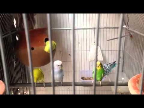 Birds in Home,Love birds