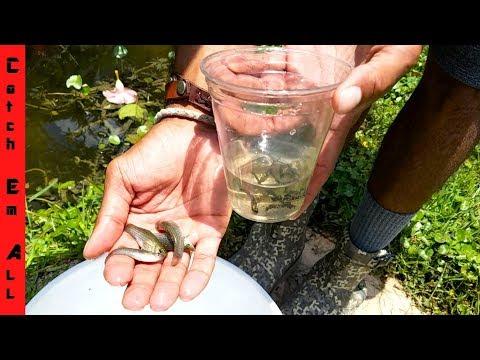 CATCH & KEEP WILD AQUARIUM FISH! (Dalmatian Mollies)
