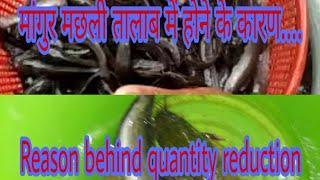 Feeding Catfish fish in India   Magur Fish Farming in India