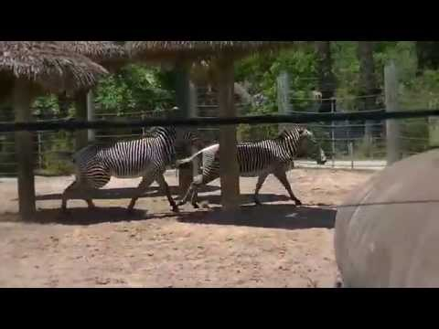 Xxx Mp4 Zebra Sex At Lowry Park Zoo 3gp Sex