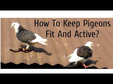 How To Keep Fancy Pigeons HEALTHY And ACTIVE?   Pigeon's Diet and Free Flight Tips   (Hindi)