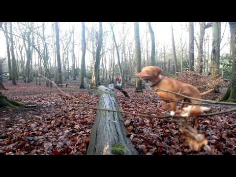 Charlie the Hungarian Vizsla Jumping and playing