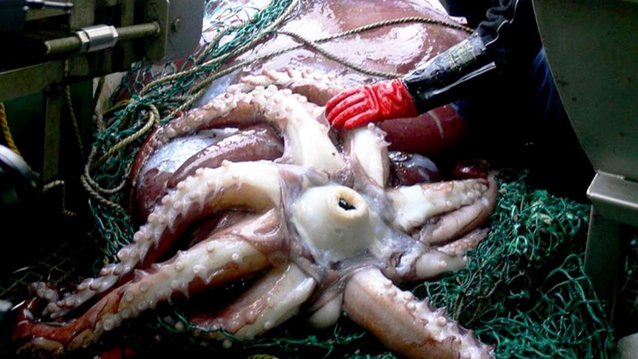 An Octopus Eats Itself to Raise Its Offspring