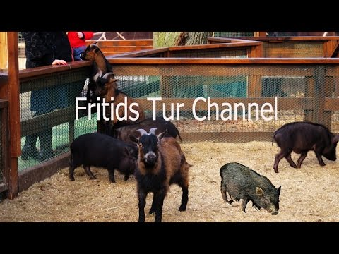 Petting zoo for children, Pot-bellied pig as pet, feedig miniature pigs