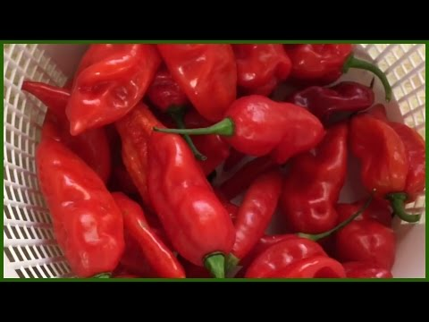 How to dehydrate peppers and make powder