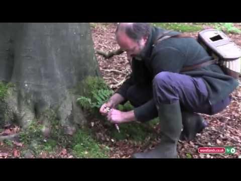 Finding Hedgehog Mushrooms in the Woodlands