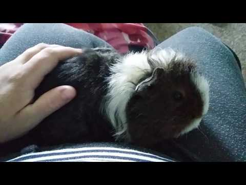 The Guinea Pig Diaries 2 How to tell she is getting closer to the birth