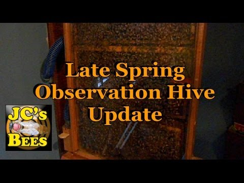 Late Spring Observation Hive Overcrowding