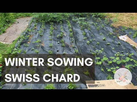 Winter Sowing Swiss Chard Seed - Growing Chard in Zone 6b/7 - Greens Gardening Container Gardening
