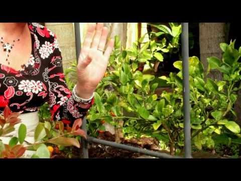 Gardening Tutorial: Taking Care of Citrus Trees