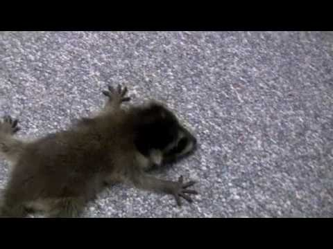 Baby Raccoons Saved After Mother Is Poisoned