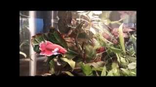 Naturally Planted Betta Tank