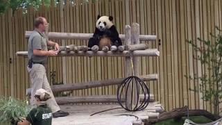 22-Month-Old Panda Jia Yueyue & Her Loving Keeper 8/13/2017