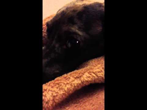 Dachshund's obsessive licking