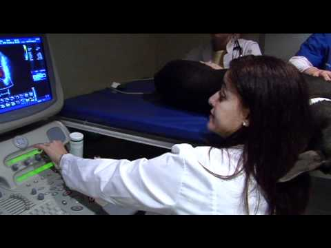 UF cardiologists study gene-modified stem cells to help Dobermans with common heart condition