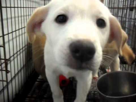 Meet Donny a Retriever, Labrador currently available for adoption at Petango.com! 3/1/2011 4:37:56 P