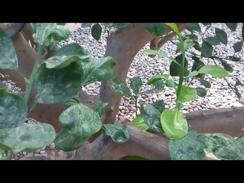 Citrus Tree Shriveled Leaves Gilbert AZ  Warner's Tree Surgery 480 969 8808 12132017