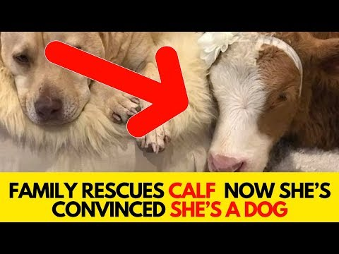 Family Rescues Calf After a Hurricane Now She's Convinced She's A Dog