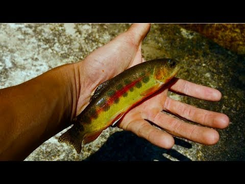 THE CALIFORNIA GOLDEN TROUT