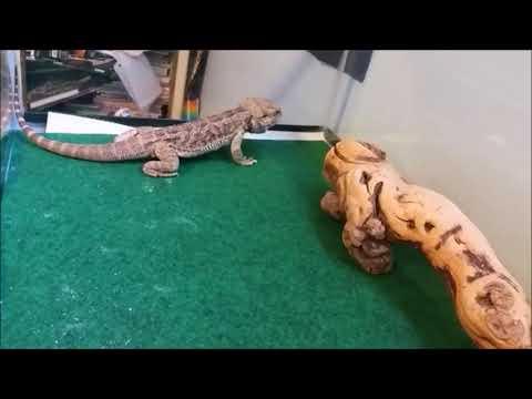 Feeding My Reptlies  (Feeding Video)