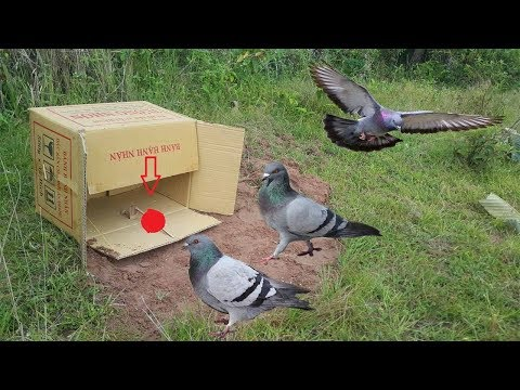 Awesome Quick Bird Trap Using Box Paper - How To Make Bird Trap Using Cardboard (Works 100%)