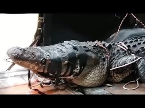 12-foot alligator removed from Hilton Head Island surf