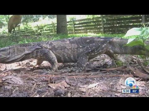 Warning about nile monitor lizard