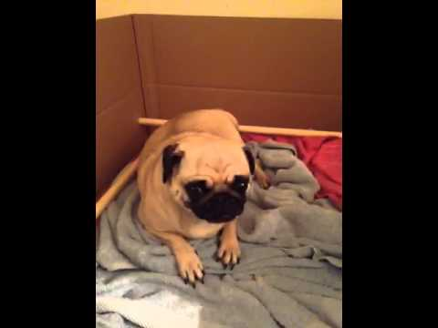 pug in labour pushing (part 2 of 2)