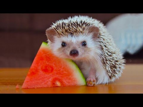 CUTEST Tiny Hedgehog Eating Food |  Funny Everyday Compilation