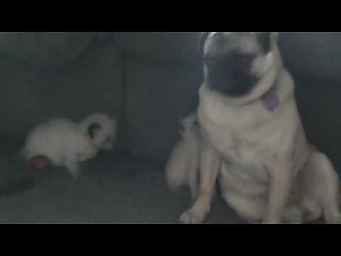 Siamese kitten attacks pug