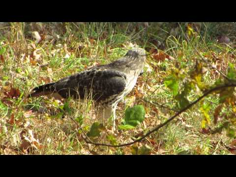 red tail hawk on ground with vole kill