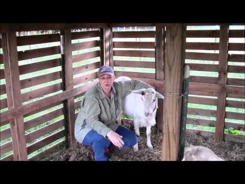 Raising & Caring for Our Dairy Goats