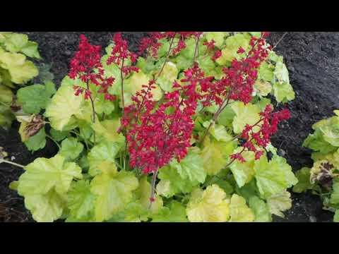Coral Bells DOLCE® APPLETINI HEUCHERA | www.gardencrossings.com