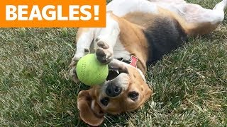 Cutest Beagle Compilation 2019   Best Funny Beagle Videos Ever
