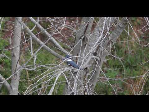 Belted Kingfisher Big Creek Greenway March 2018