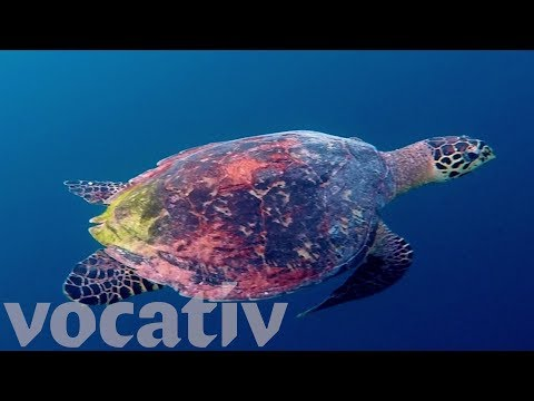 Efforts To Save Endangered Sea Turtles May Be Paying Off