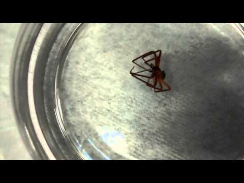 Spider series: black widow and brown recluse