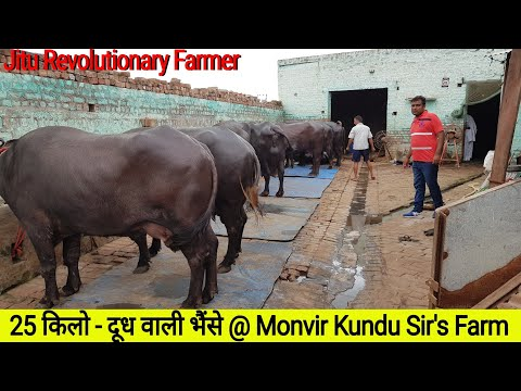 👍FULL Video -TOP MURRAH Buffaloes @ Monvir Sir's #DairyFarm. #MilkYield -25 Kg Per Day👍.