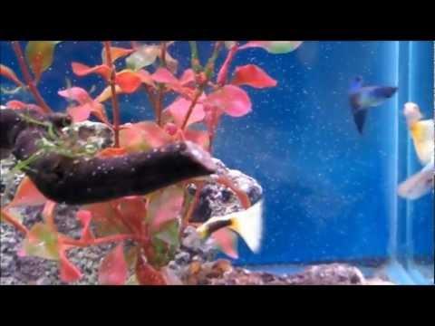 Fancy Guppies Eating Instant Baby Brine Shrimp