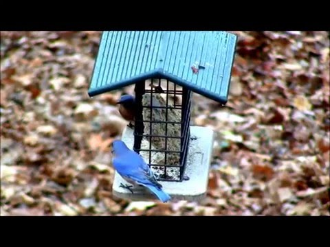 Bluebirds on Suet