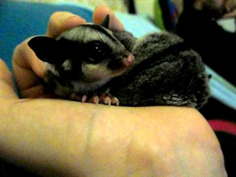 Baby Sugar Glider (joey) First Meal