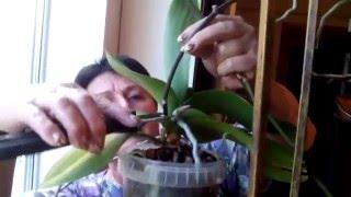 Черенкование орхидей (фаленопсис)