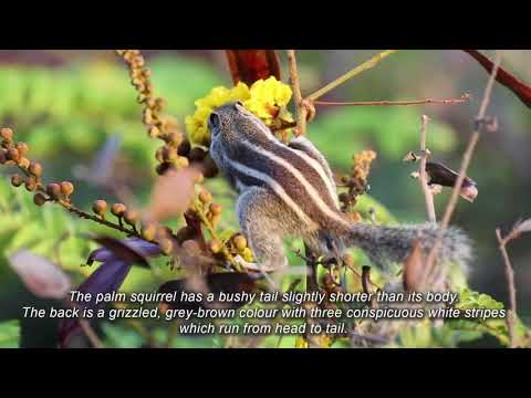Awesome Nature-n-Wildlife of India - The Indian palm squirrel - Video by Neeraj Chawla